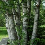 Birkenholz
